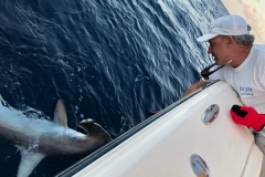 Captain Gary releasing a 200lb Hammerhead Shark